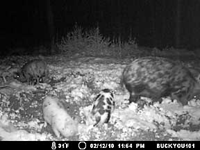 Lowcountry hogs enjoying our rare snowfall